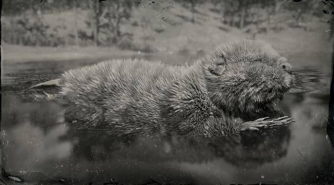 Image en noir et blanc d'un castor dans l'eau