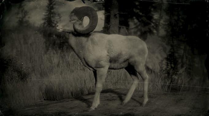 Image en noir et blanc d'un gros bélier en corne.
