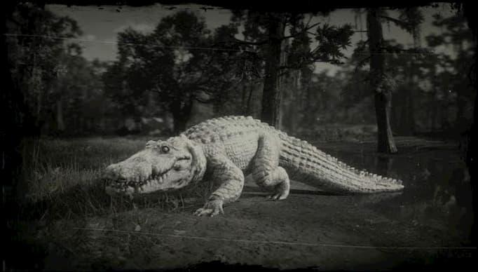Image en noir et blanc d'un alligator blanc