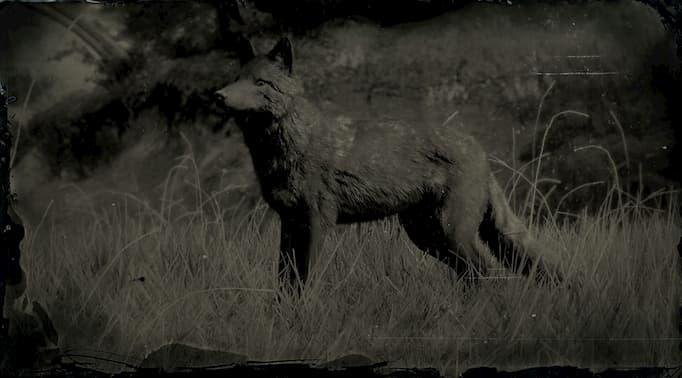Image en noir et blanc d'un coyote foncé.