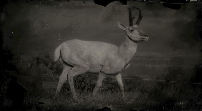 Image en noir et blanc d'un mâle pronghorn blanc.