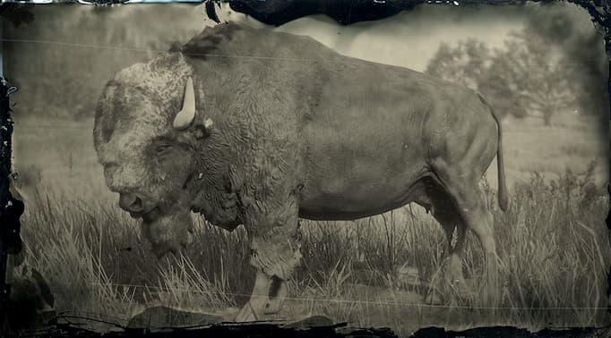 Image en noir et blanc d'un bison noir